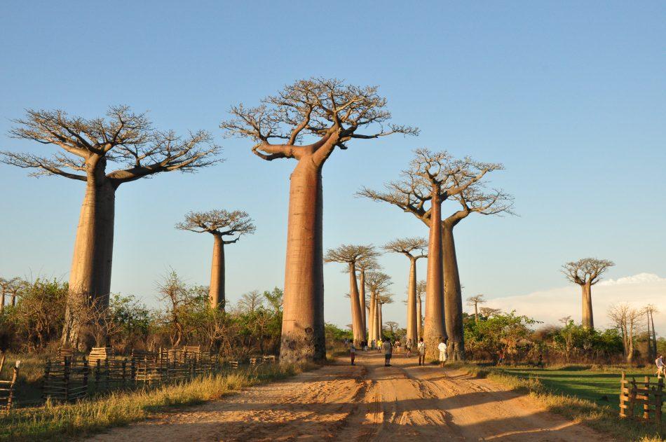 Allée Baobabs Madagascar